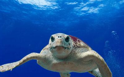 Monitoraggio delle coste italiane per la salvaguardia delle tartarughe Caretta caretta  ADPM Drones in campo insieme a Legambiente